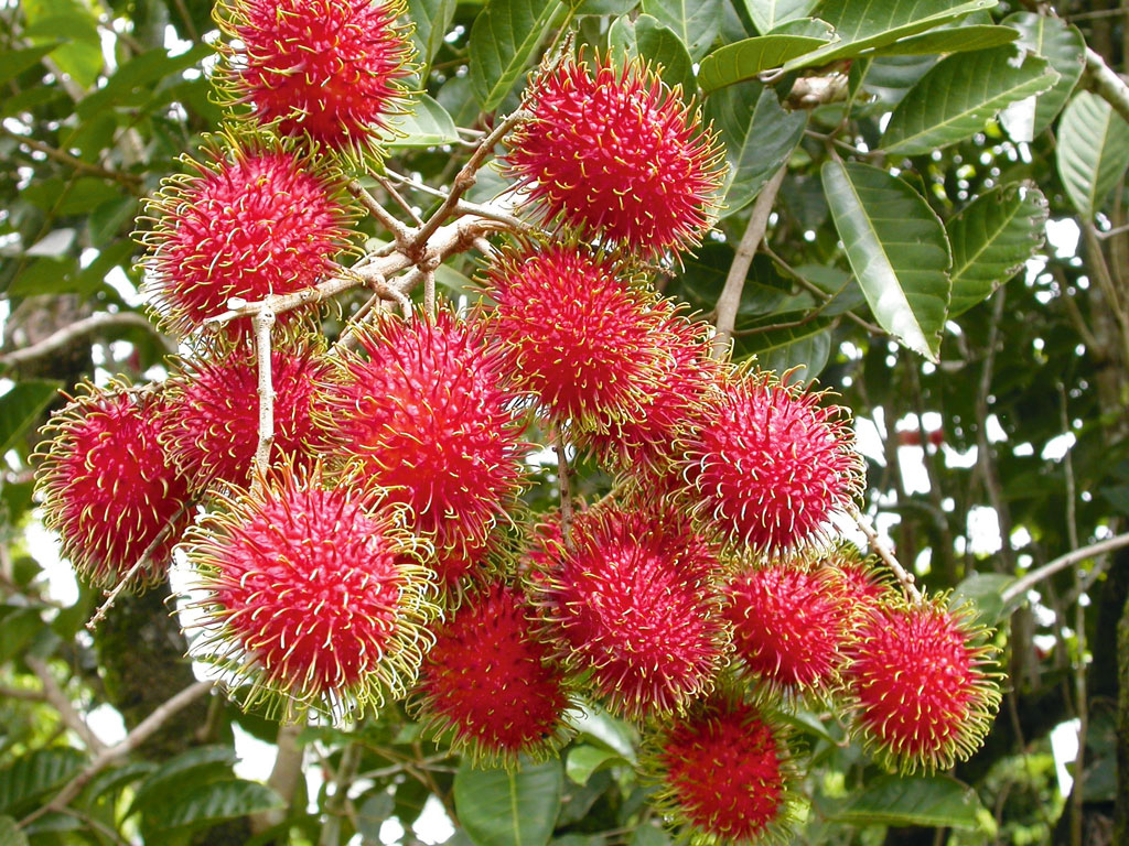 teknik budidaya buah naga agar berbuah besar dan melimpah