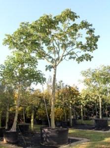 jual pohon pelindung bandung - Tukang - Rumput - Bogor